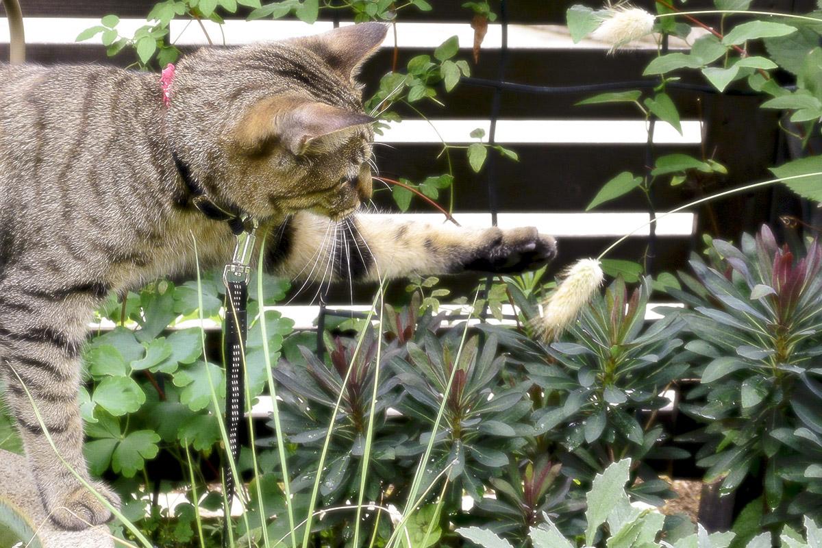 ねこじゃらしをちょいちょいするキジトラ猫の虎ノ介