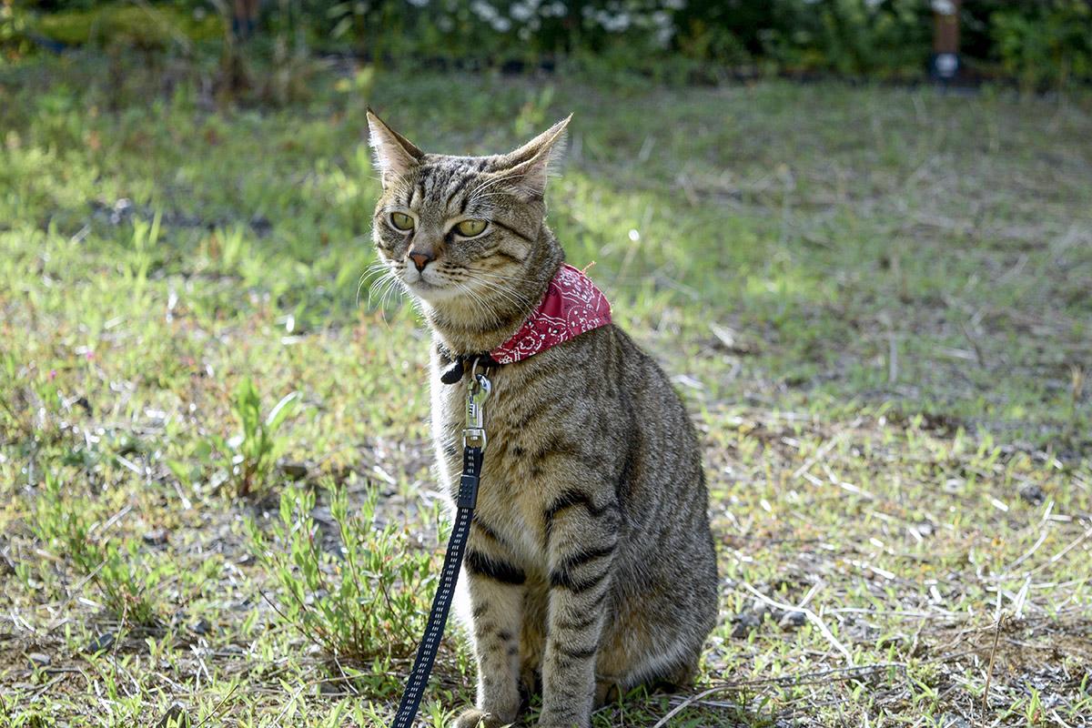 鳥をみつけてうんざり顔のキジトラ猫の虎ノ介