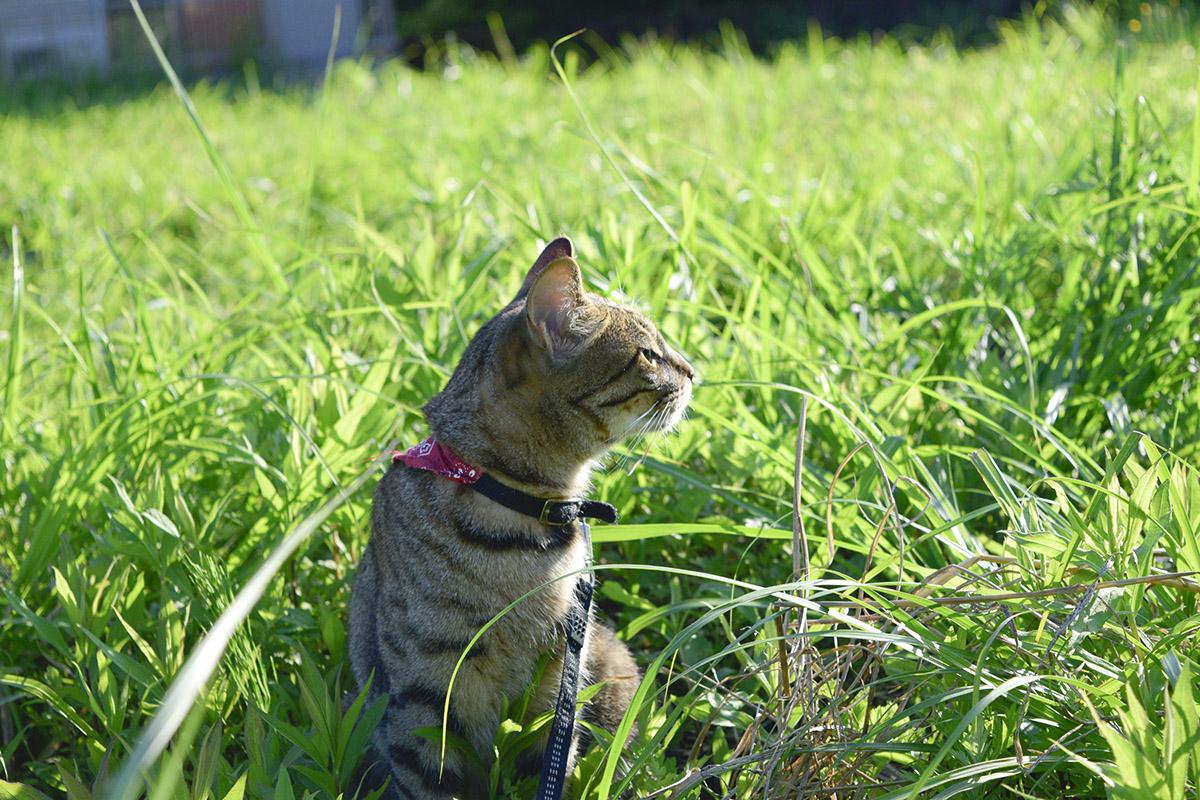 外でにおいを嗅ぐキジトラ猫の虎ノ介