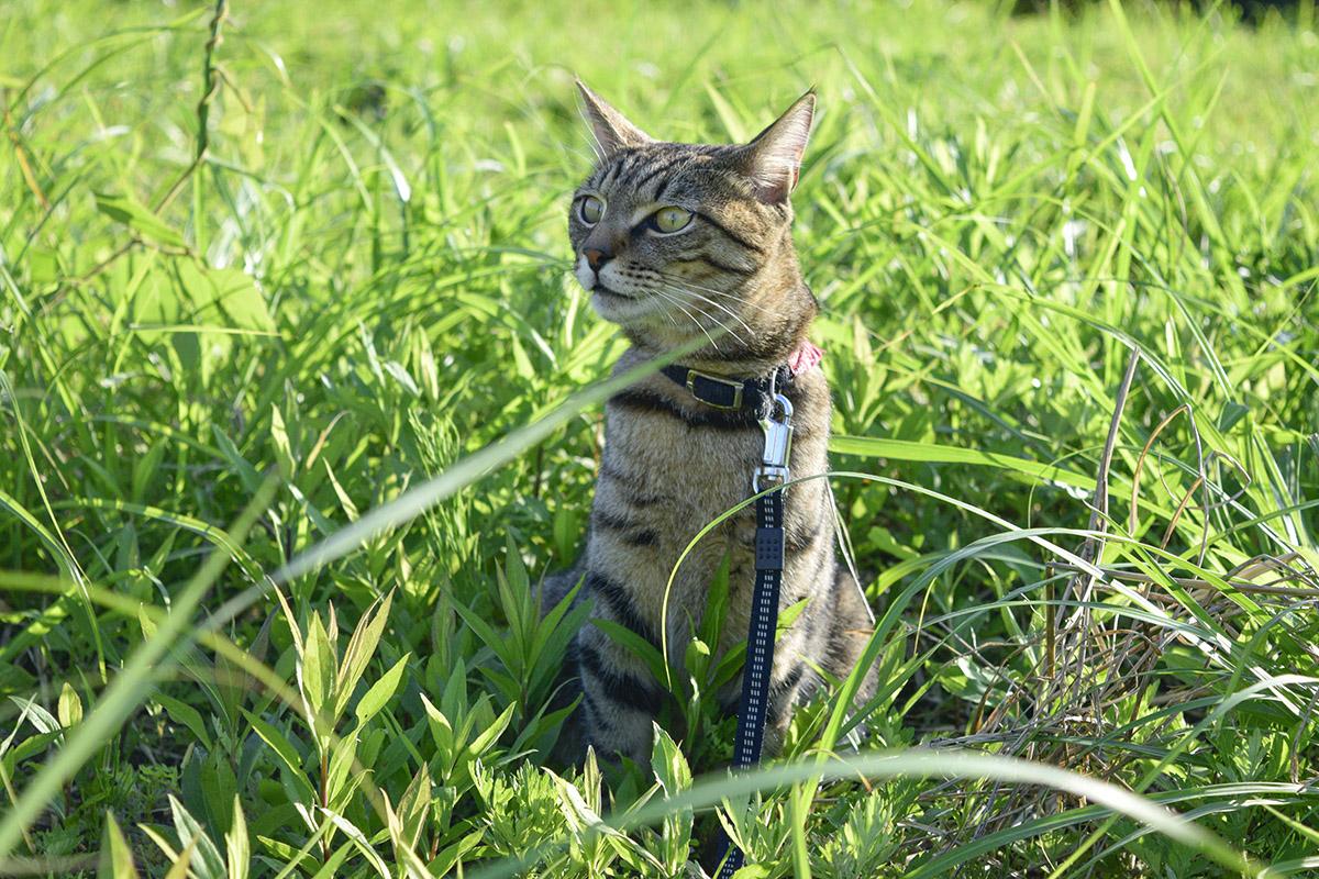 音に反応するキジトラ猫の虎ノ介
