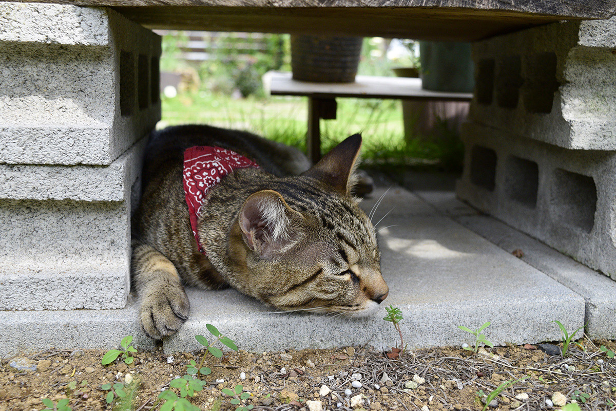 特等席で昼寝するキジトラ猫の虎ノ介
