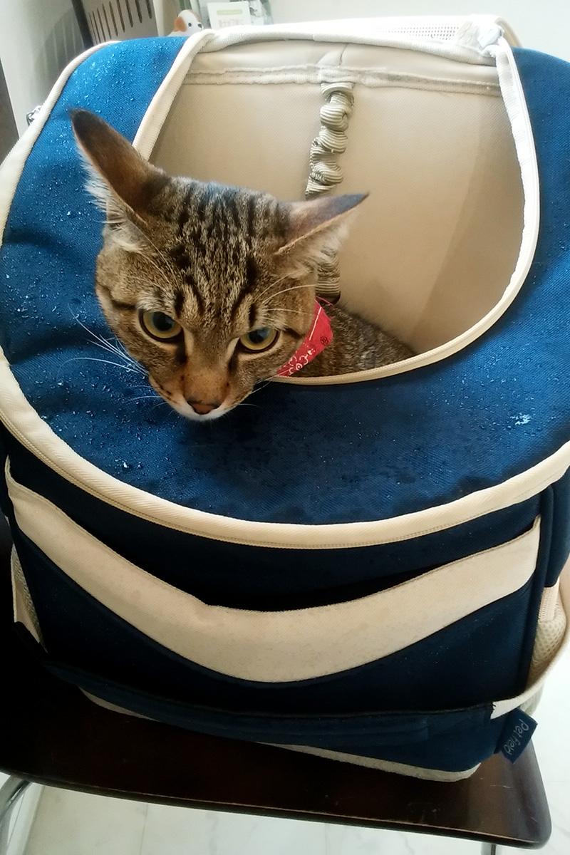 キャリーバッグから顔をだすキジトラ猫の虎ノ介