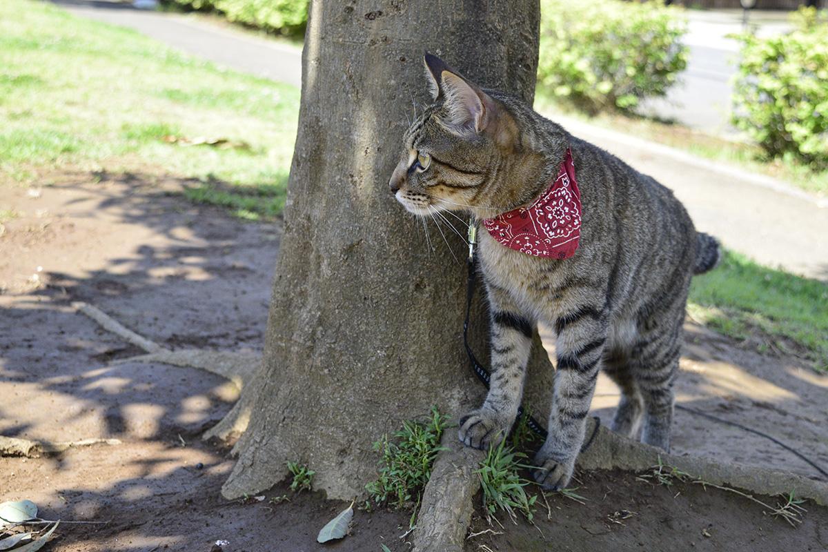 木陰から覗くキジトラ猫の虎ノ介