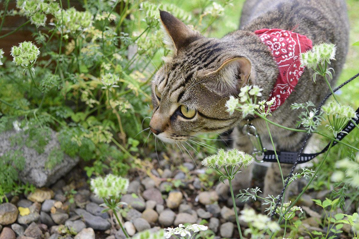 カナヘビを狙うキジトラ猫の虎ノ介
