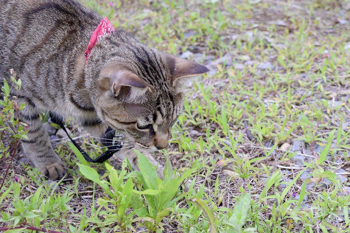 バッタを捕まえるキジトラ猫の虎ノ介