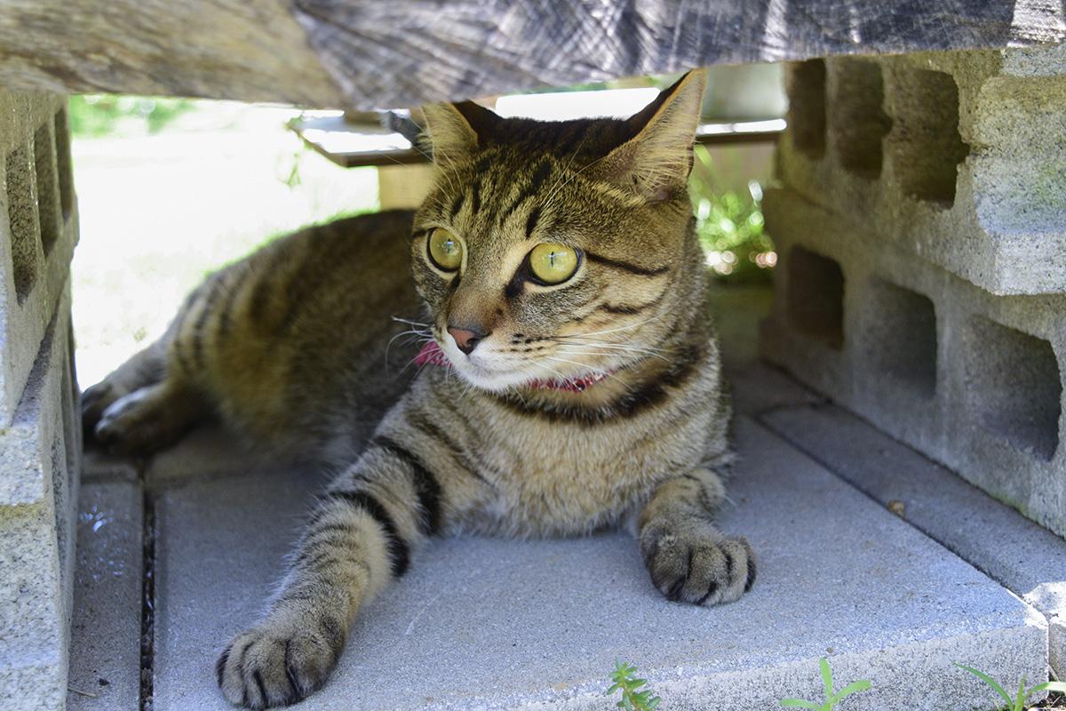 特等席で驚くキジトラ猫の虎ノ介