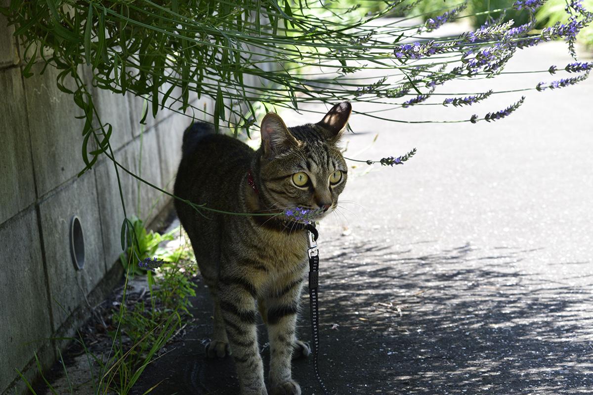 野良をおいかけるキジトラ猫の虎ノ介