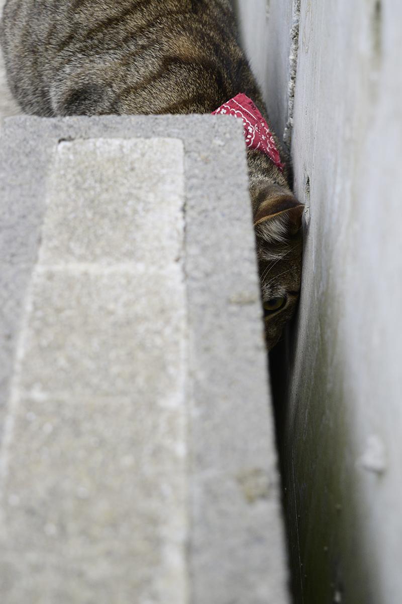 隙間から覗くキジトラ猫の虎ノ介