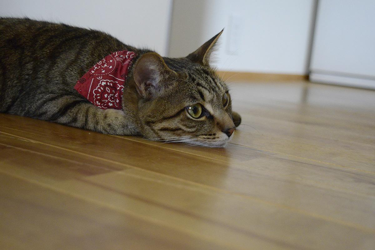 床でじっとしているキジトラ猫の虎ノ介