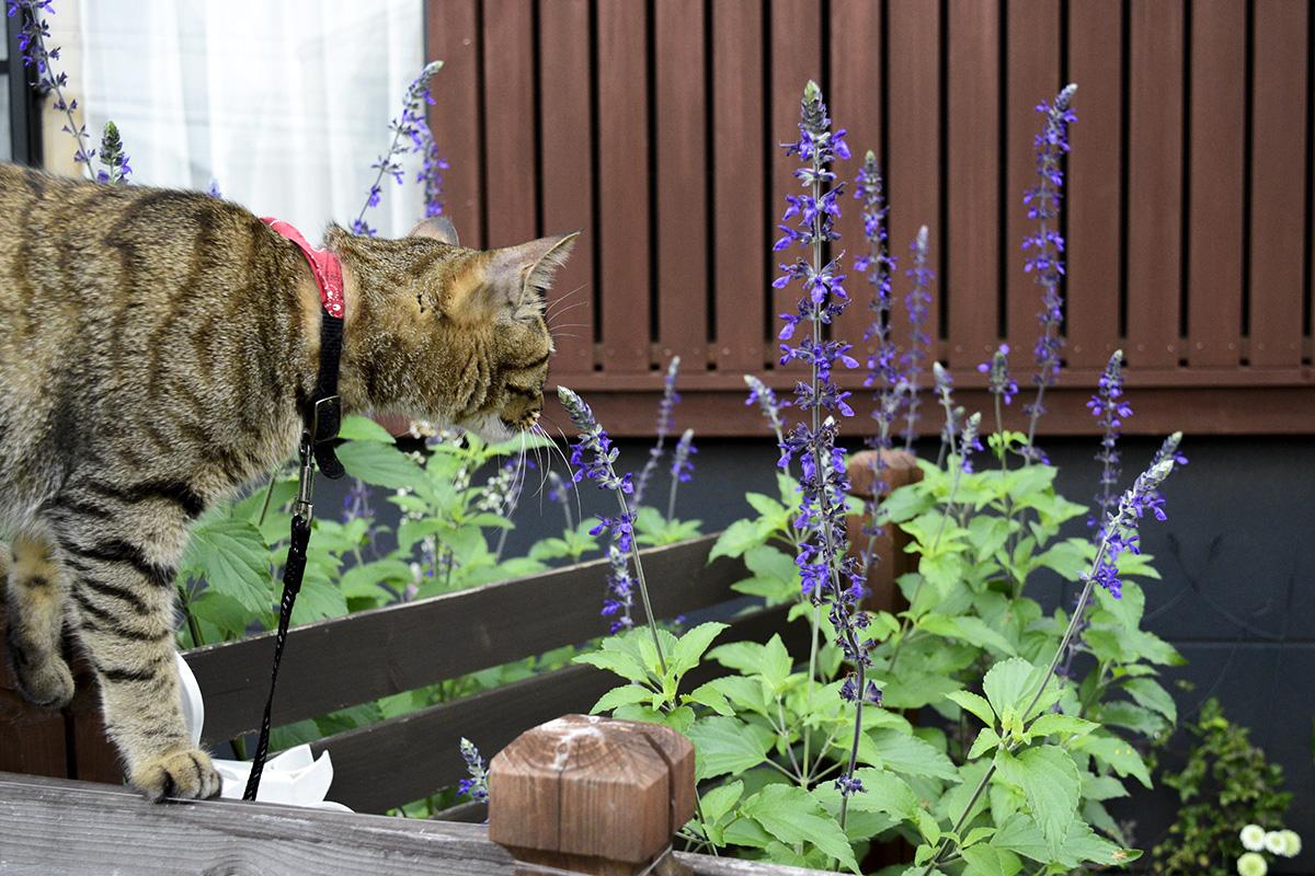 蜂を捕まえようとするキジトラ猫の虎ノ介