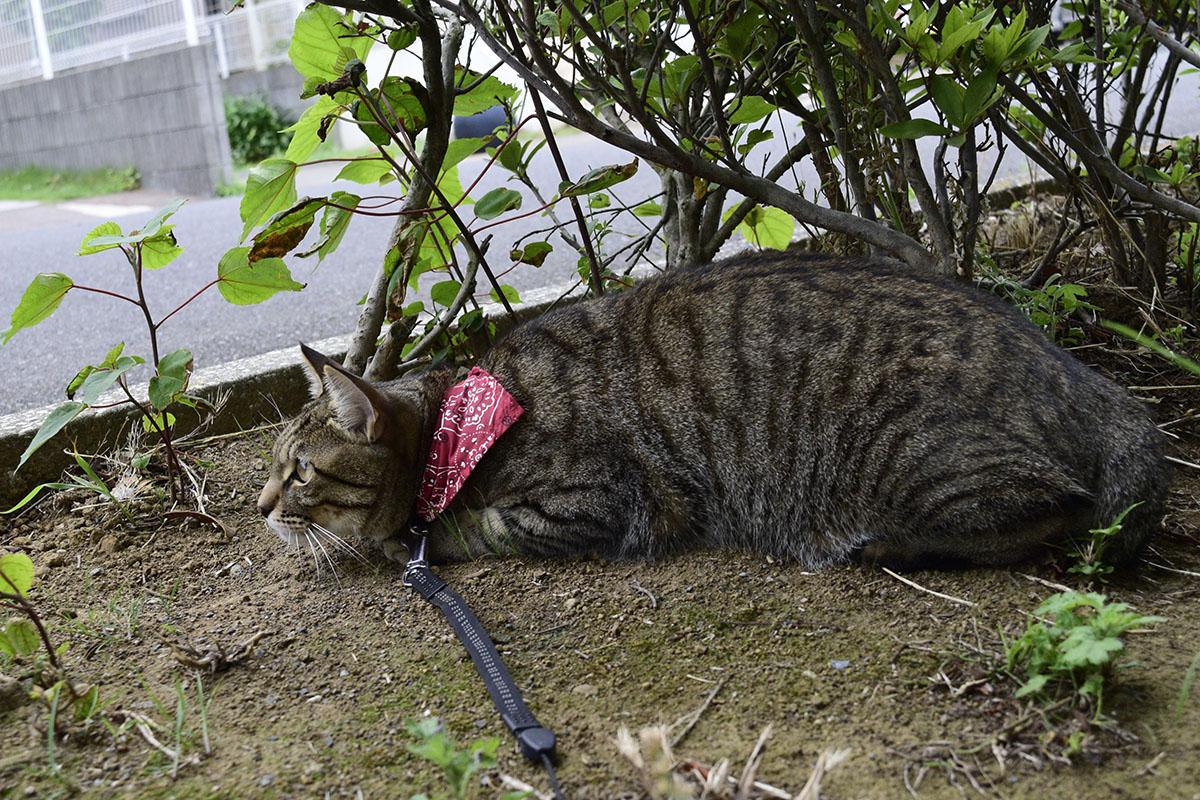 街路樹の影から覗くキジトラ猫の虎ノ介