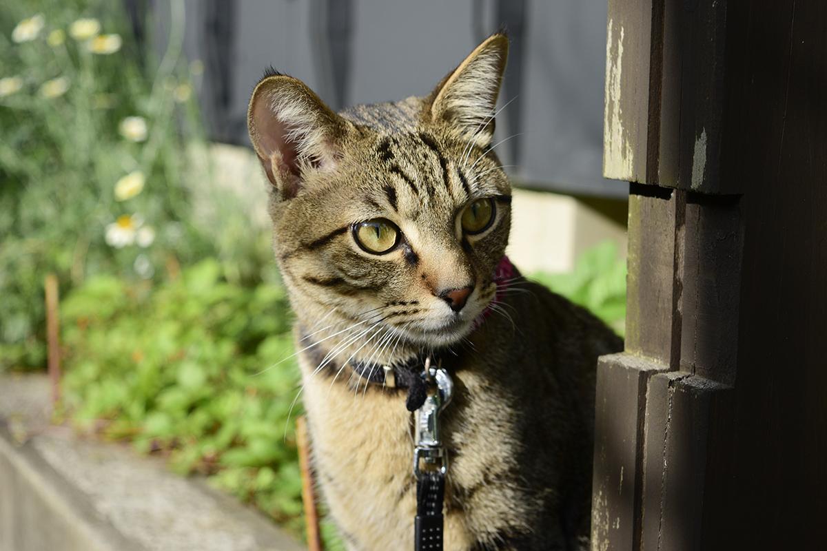 フェンスの柱の陰から覗くキジトラ猫の虎ノ介