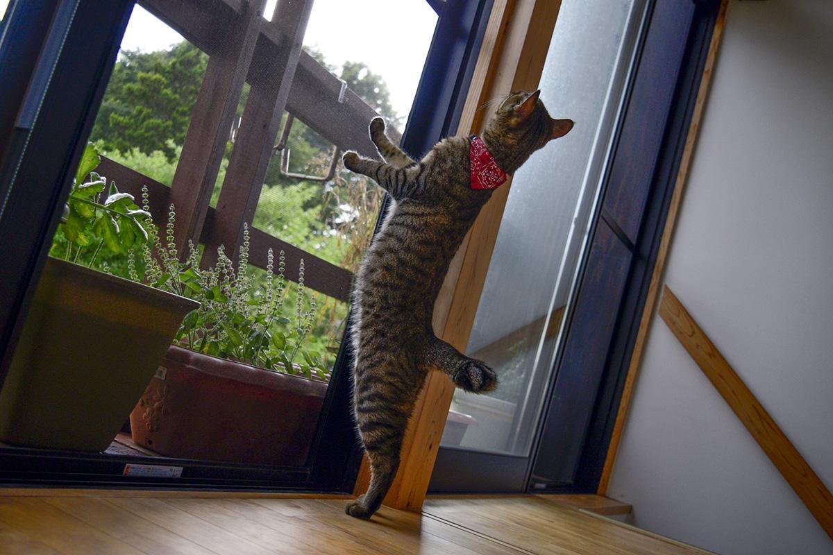 カーテンがない網戸につかまるキジトラ猫の虎ノ介