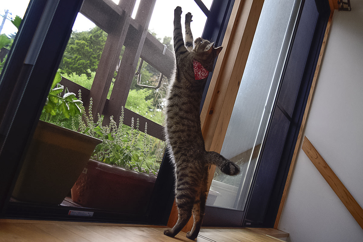カーテンがない窓で伸び伸びと伸びをする虎ノ介