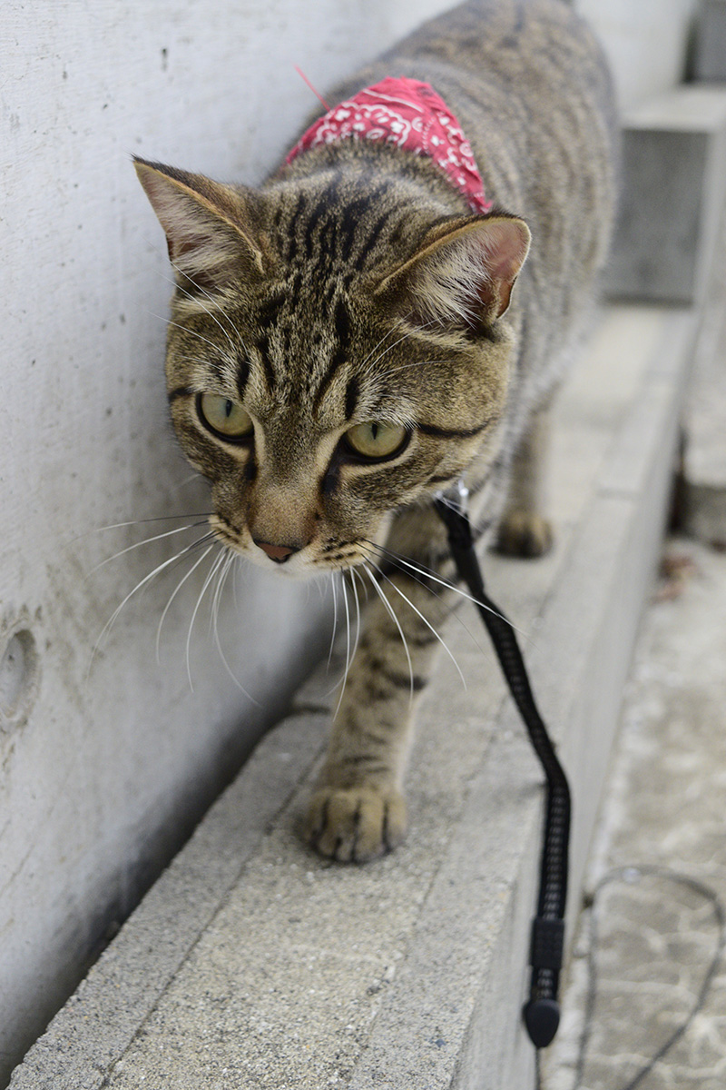 遠くの気配に神経を研ぎ澄ましながら歩くキジトラ猫の虎ノ介