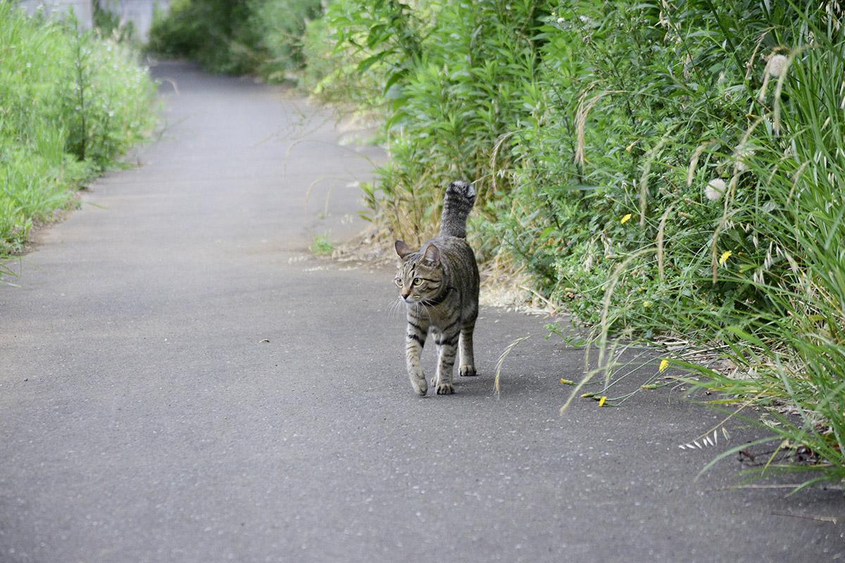 脱走して不安な表情で歩くキジトラ猫の虎ノ介