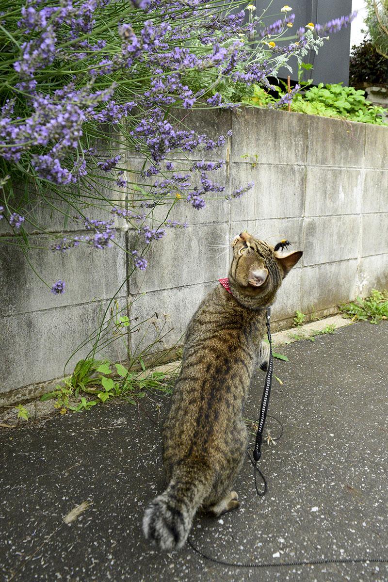 蜂に逃げられるキジトラ猫の虎ノ介