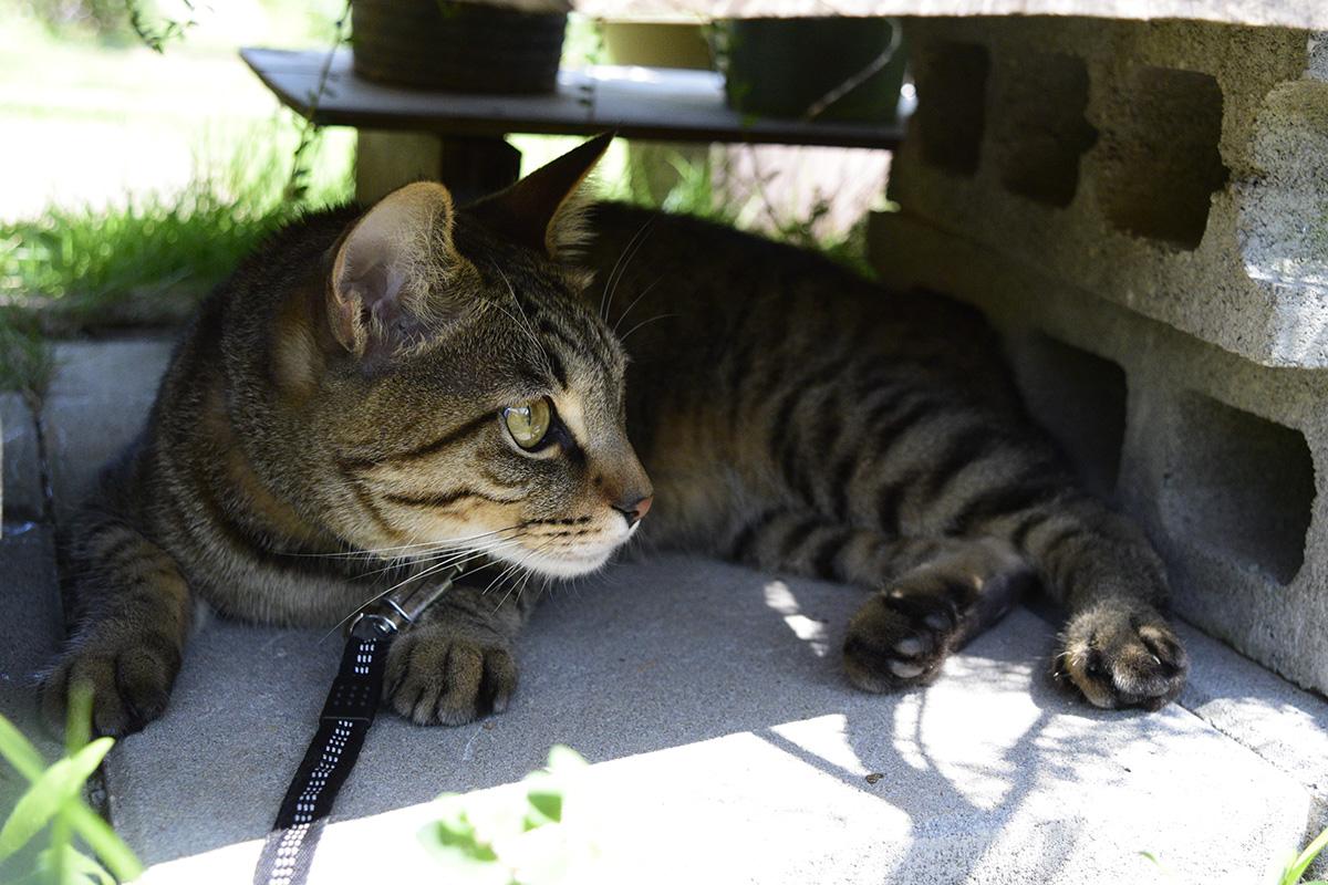 蜂を観察するキジトラ猫の虎ノ介