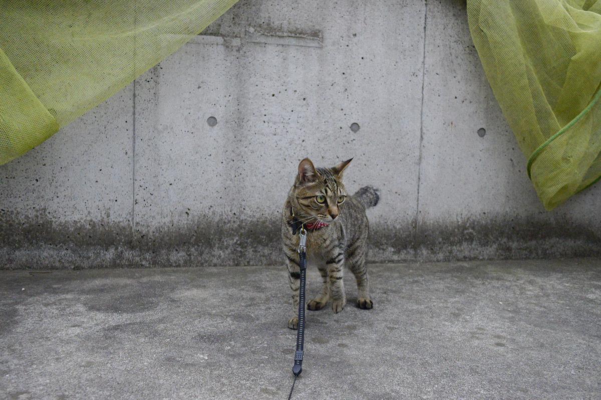 ゴミ捨て場をチェックするキジトラ猫の虎ノ介