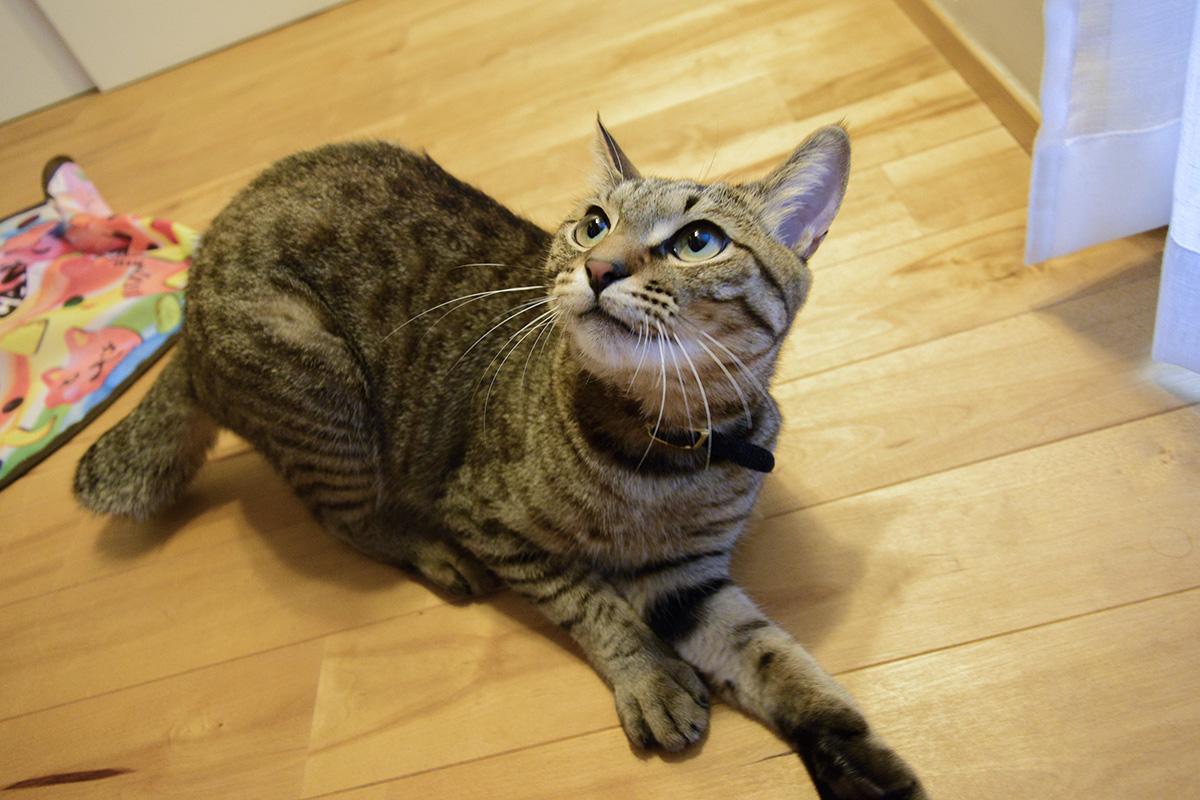 カメラを狙うキジトラ猫の虎ノ介