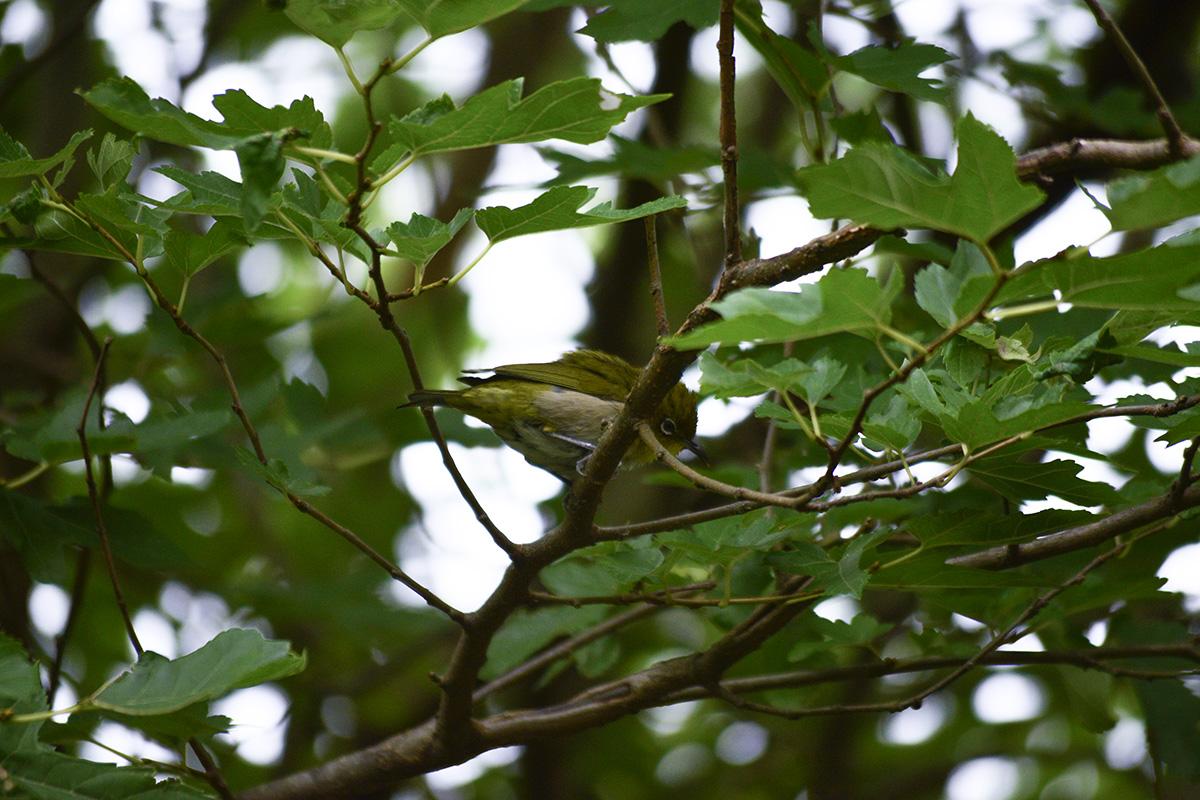 木の枝にとまっているメジロ