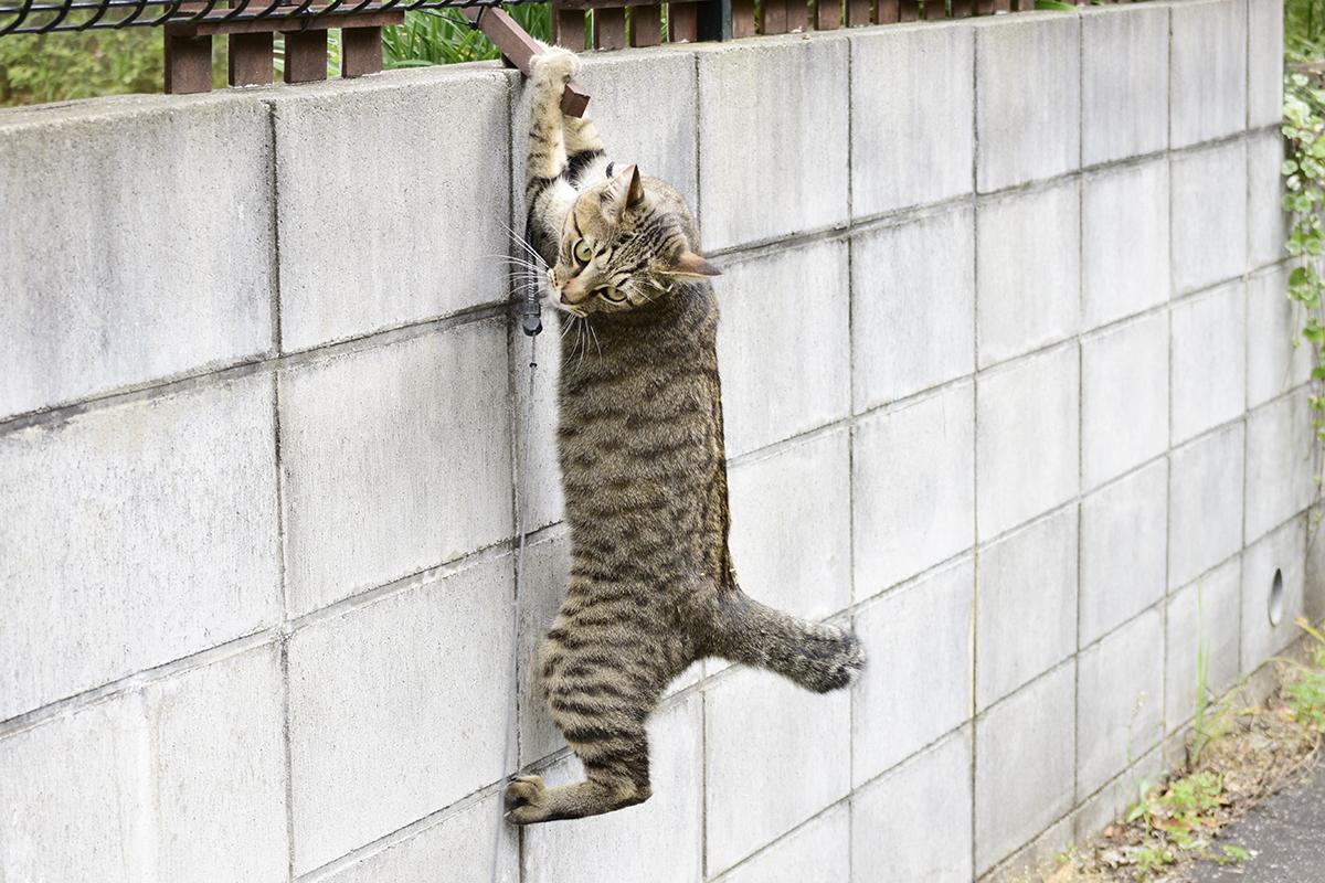 ブロック塀から落ちそうになる虎ノ介