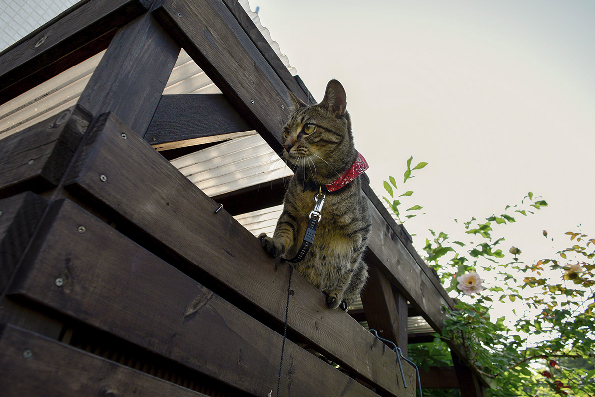 小屋から身を乗り出すキジトラ猫の虎ノ介
