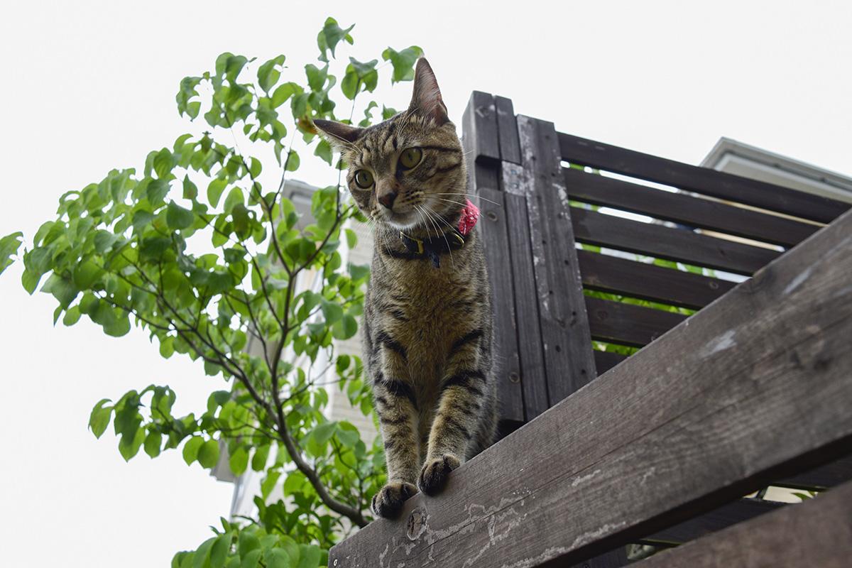 フェンスの上を歩くキジトラ猫の虎ノ介