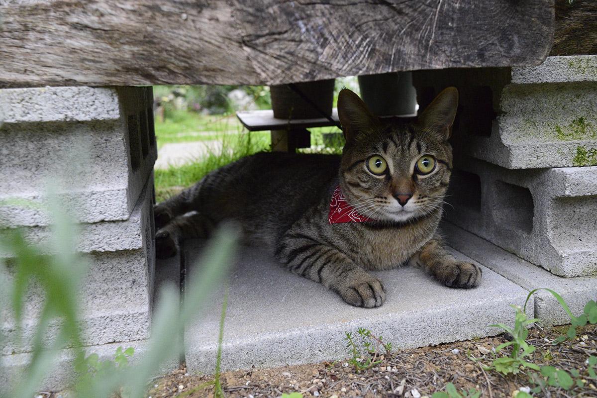 特等席で雷を監視しようとするキジトラ猫の虎ノ介