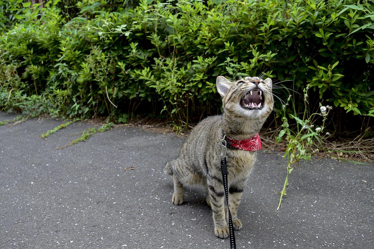 鳥に向かって吠えるキジトラ猫の虎ノ介