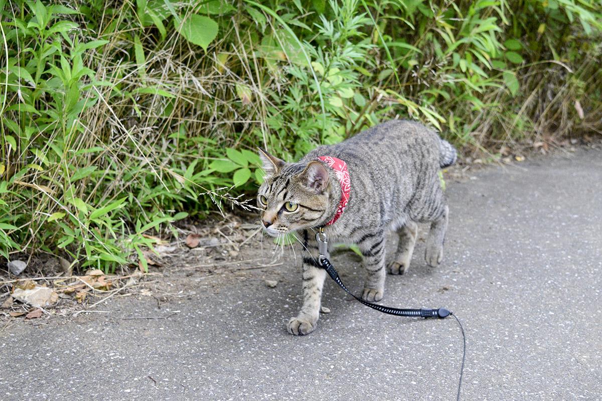 犬を後ろから追いかけるキジトラ猫の虎ノ介