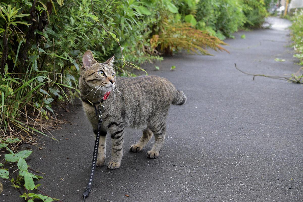 雨あがりの道路を歩くキジトラ猫の虎ノ介