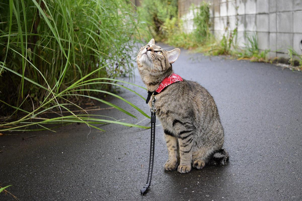雨あがりの空を見上げるキジトラ猫の虎ノ介