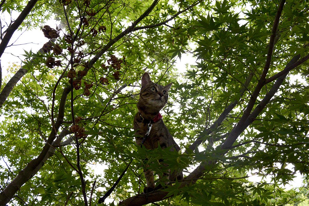 木の上から犬を眺めるキジトラ猫の虎ノ介