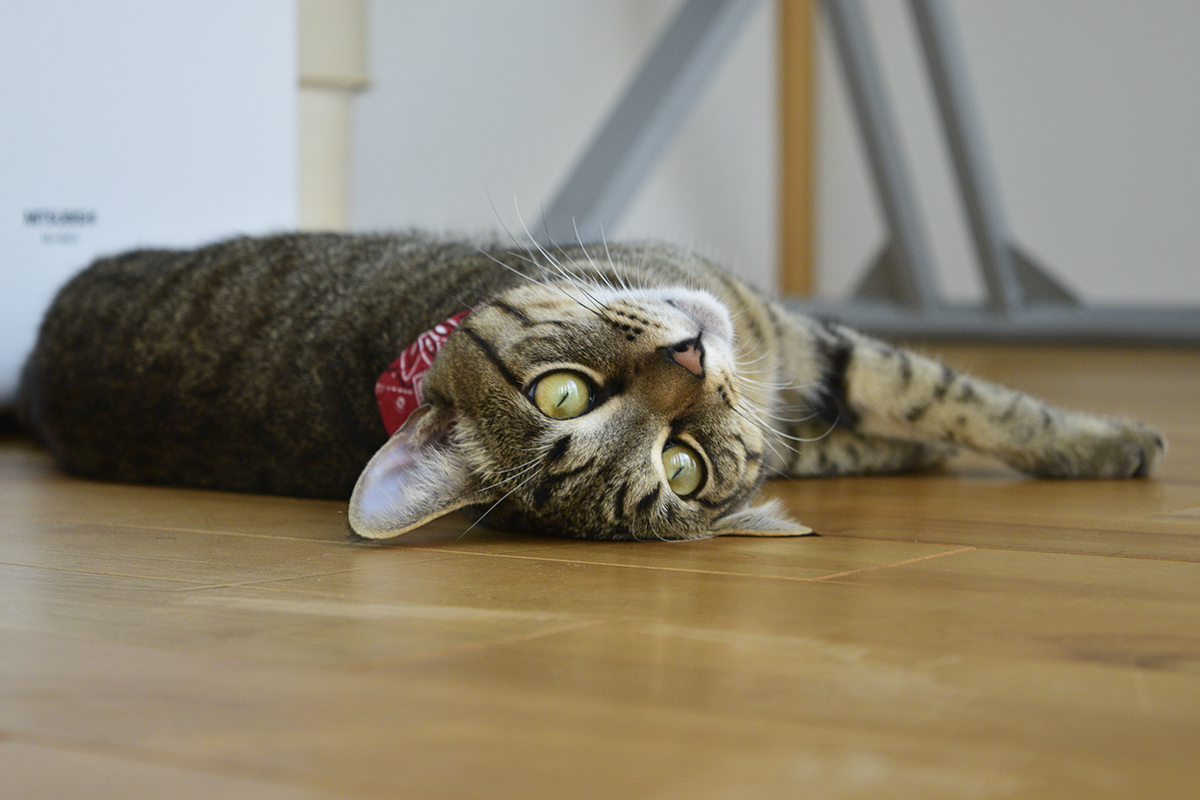 退屈そうに転がるキジトラ猫の虎ノ介
