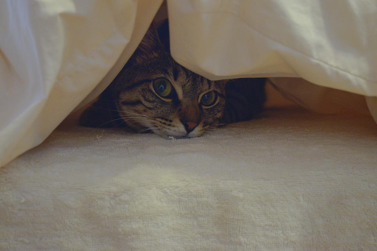 布団にもぐるキジトラ猫の虎ノ介