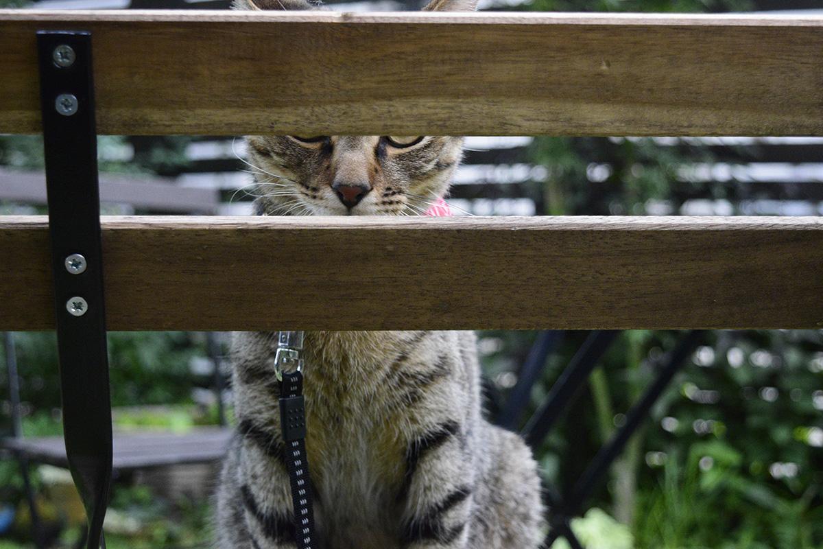 椅子の隙間から見えるキジトラ猫の虎ノ介っぽい猫