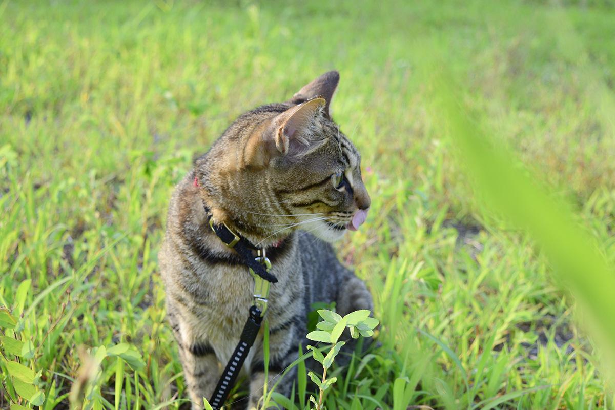 草むらに座って遠くを眺めるキジトラ猫の虎ノ介