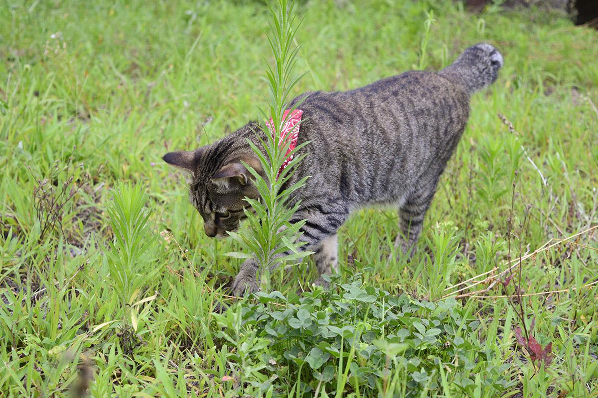 原っぱでバッタを探すキジトラ猫の虎ノ介