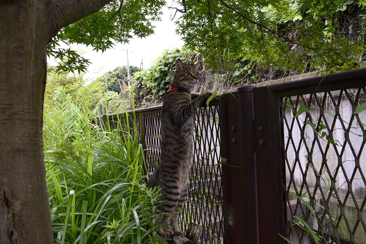フェンスの向こうに行こうとするキジトラ猫の虎ノ介