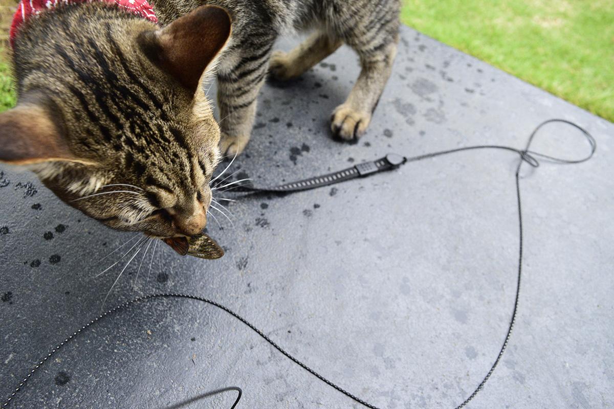 セミを咥えて運ぶキジトラ猫の虎ノ介