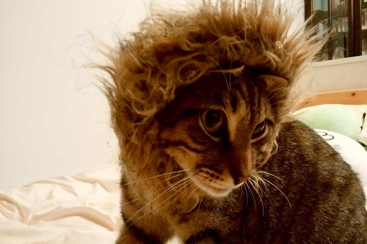 冬ものの袖口のフワフワをつけられたキジトラ猫の虎ノ介
