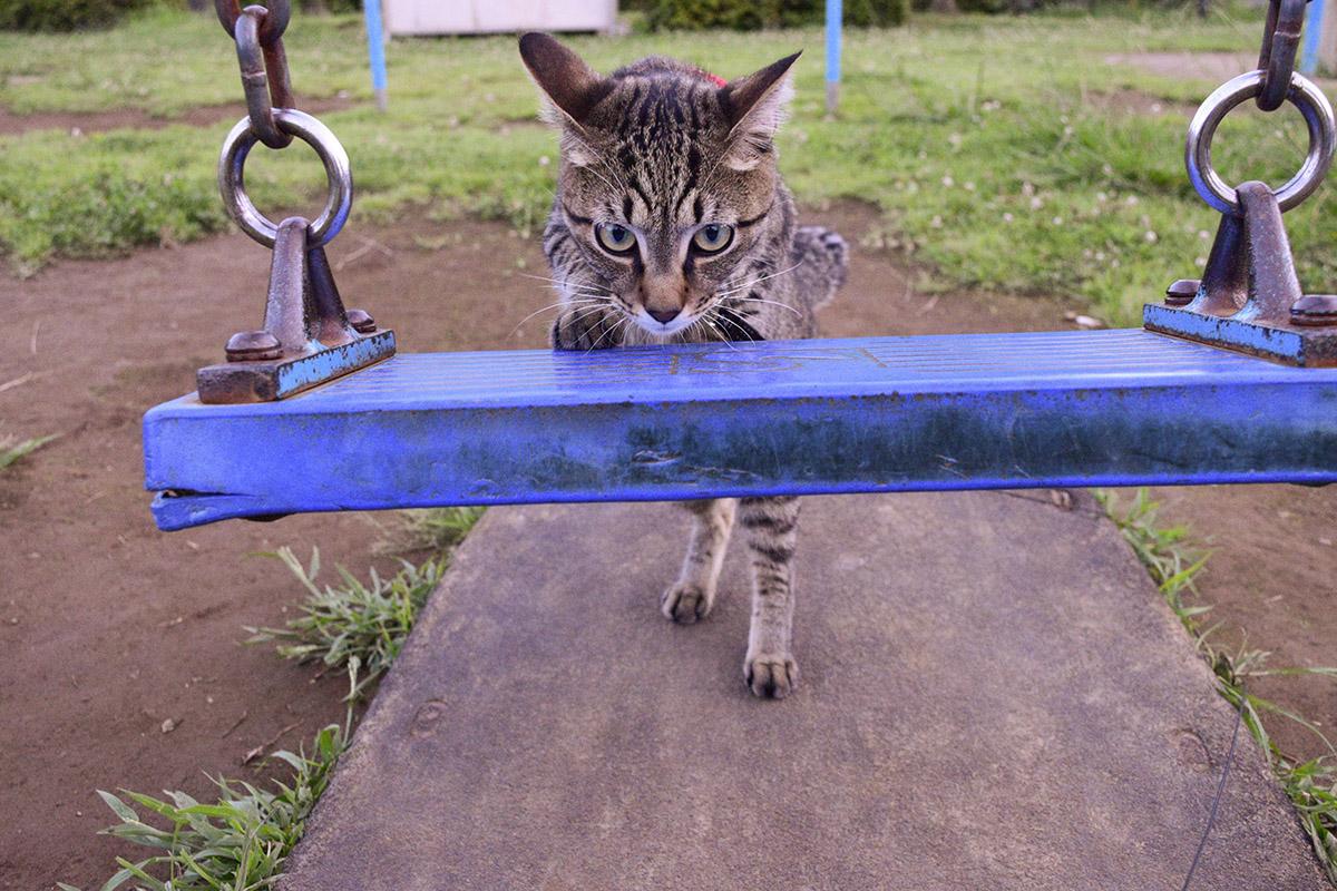 ブランコに乗ろうとするキジトラ猫の虎ノ介