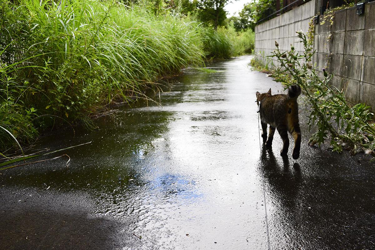 濡れた道に走り出すキジトラ猫の虎ノ介