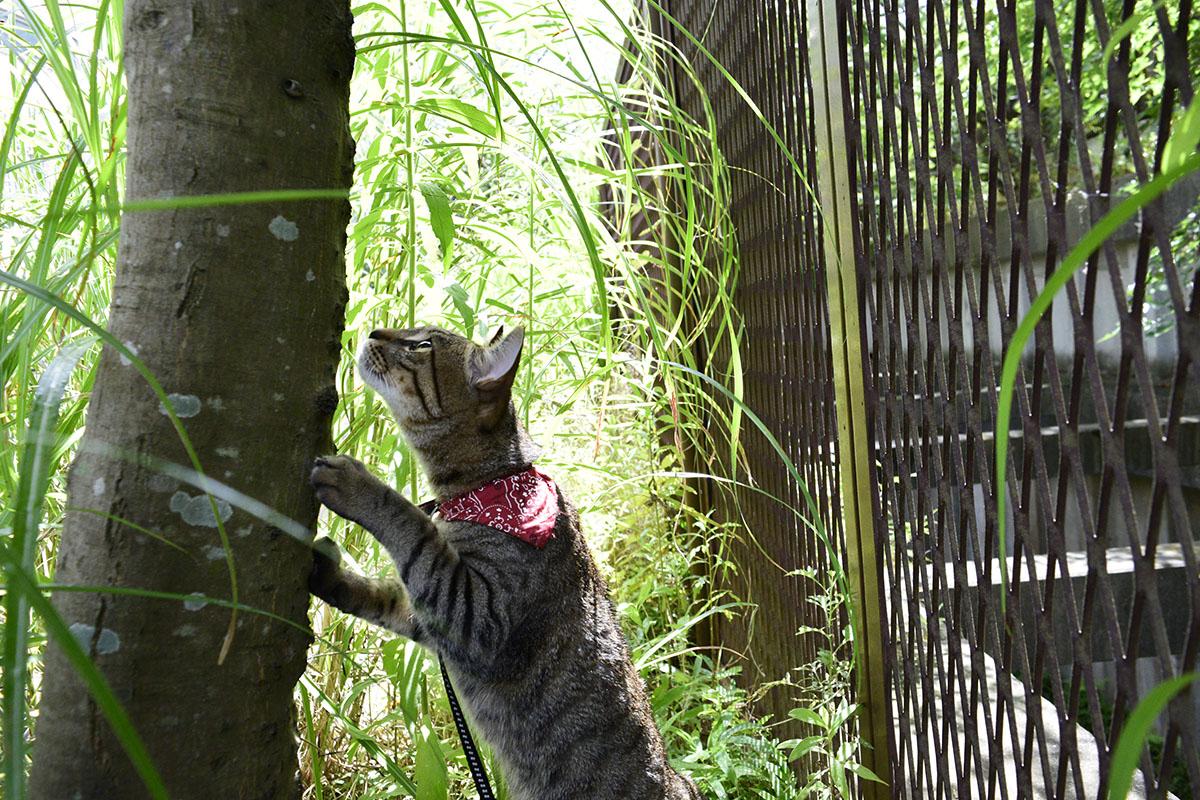 木の上のセミを探すキジトラ猫の虎ノ介