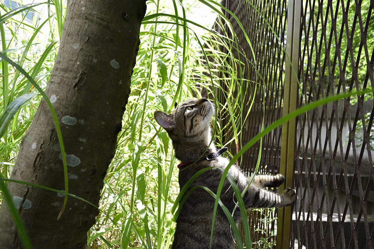 フェンスの向こうのセミを見上げるキジトラ猫の虎ノ介