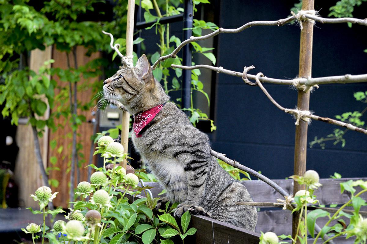フェンスによじのぼり鳥をチェックするキジトラ猫の虎ノ介