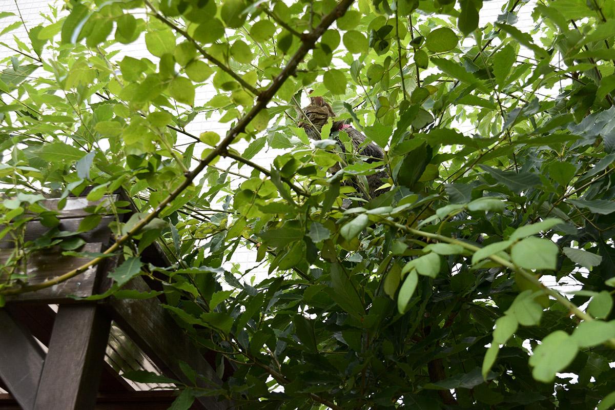 木の上に上って降りられなくなったキジトラ猫の虎ノ介
