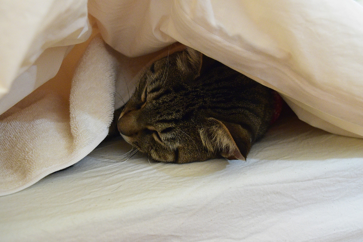 寒くて布団にもぐるキジトラ猫の虎ノ介