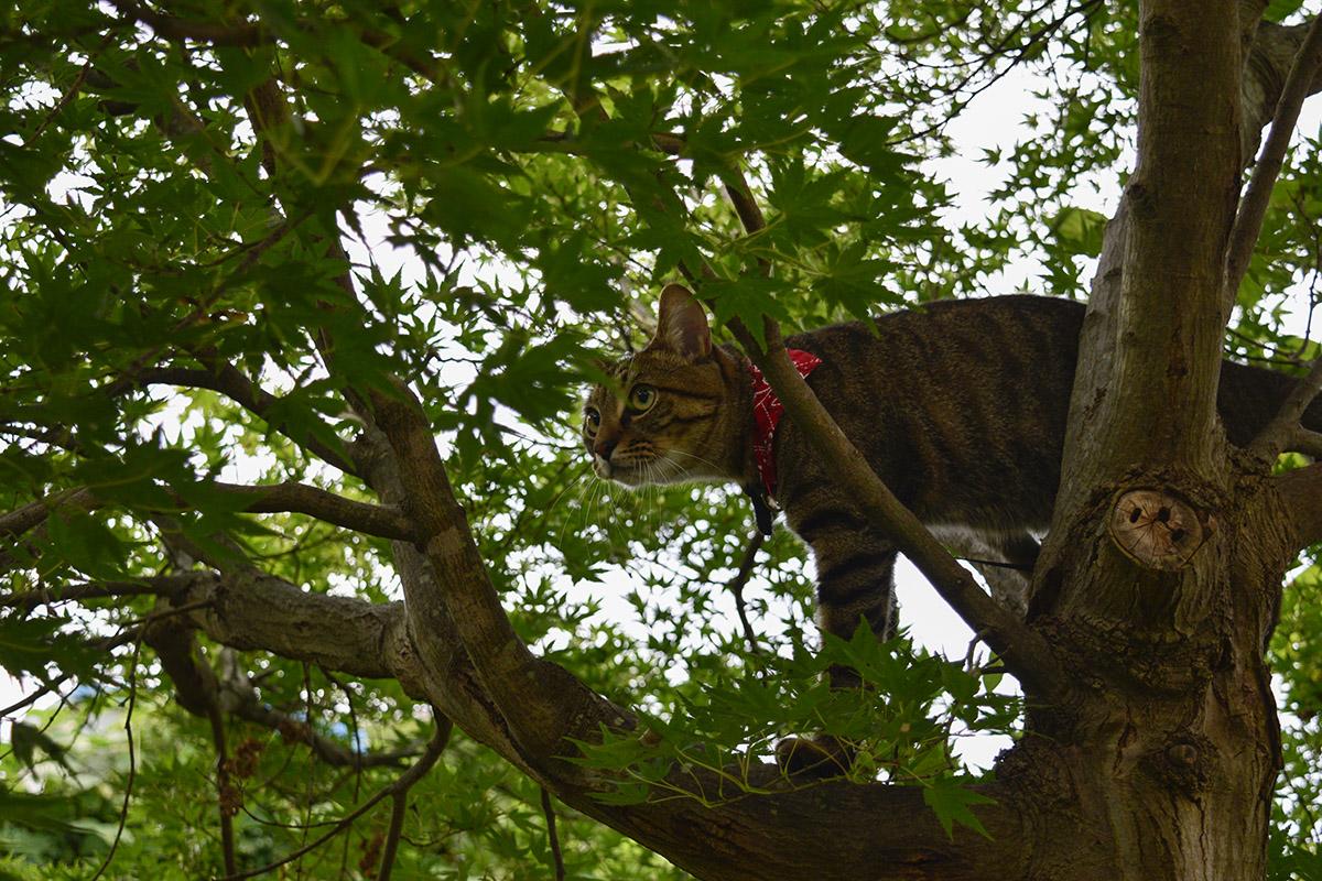 蝉をおいかけて木に登るキジトラ猫の虎ノ介